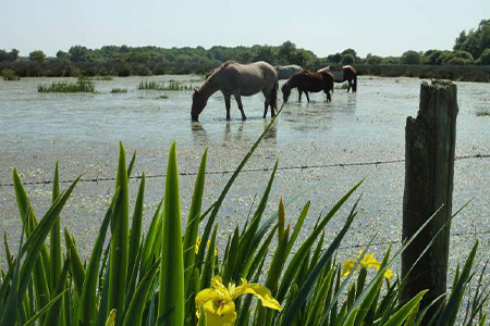 La brière et ses chevaux